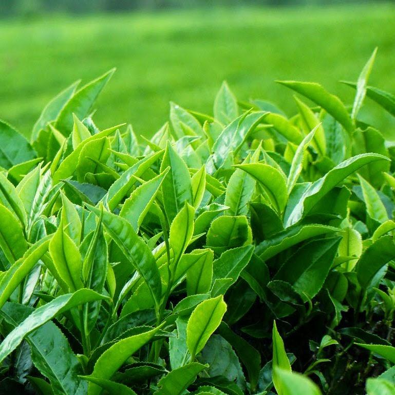 Lá trà xanh có tác dụng tăng cường khả năng phân giải mỡ thừa