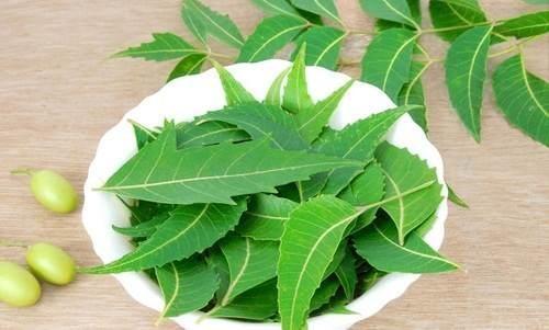 Bạn có thể tới Ninh Thuận để có thể trực tiếp mua lá neem này
