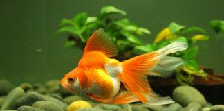 Tại sao cá vàng lại được gọi là cá phong thủy?